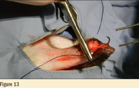 Figure 13 - The scrotal incision is then closed with a continuous subcuticular pattern using the remaining Monocryl
