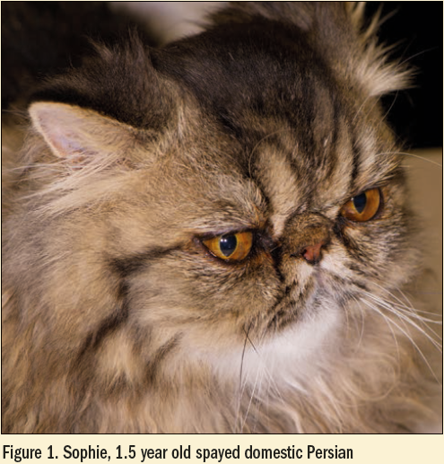 Figure 1 - Spohie 1.5 yr old spayed domestic Persian cat