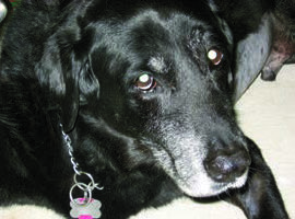 Figure 5. Buddy, a 16-year-old lab, presented with weakness, vomiting, and inappetence.