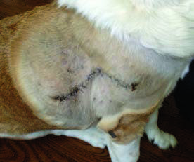 Figure 11. The incision healed beautifully.