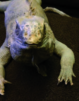 Figure 5: Green iguanas frequently require toe amputations to eliminate bacterial infections. No sutures are required when the laser is utilized.