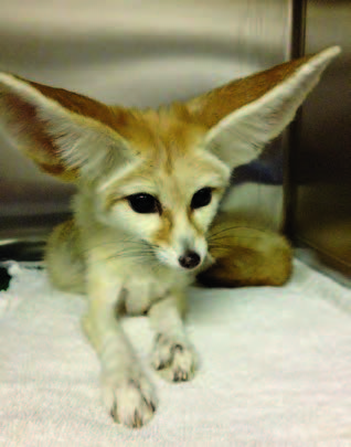 Figure 6: Orthopedics may be facilitated with the CO2 laser. Depicted is a fennec fox recovering from a femoral head ostectomy. Note his painless posture.