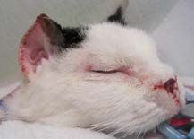1F: Immediate post-operative view. The cat began eating comfortably with in 3 hours of waking from surgery.