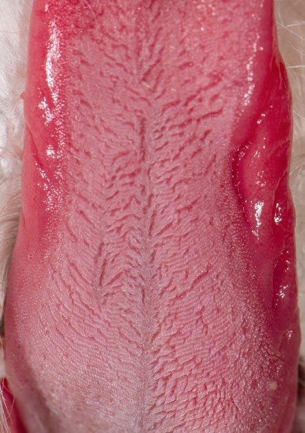 Figure 2. Lateral tongue ulceration in a cat with stomatitis