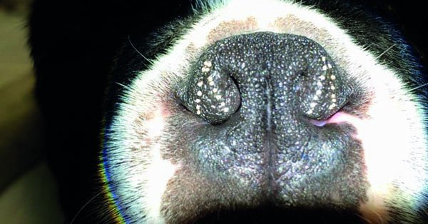 stenotic nares dog nose