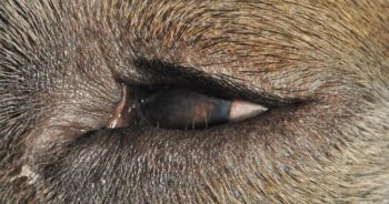 CO2 Laser Treatment of Canine Distichiasis