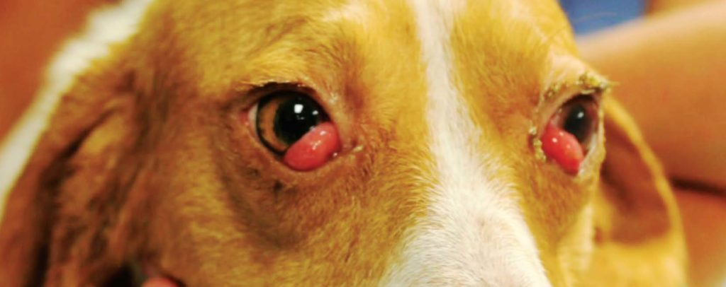 "Figure 1: This 1-year-old dog presented for bilateral moderate to severe inflammation of the nictitans gland, or ""cherry eye."""