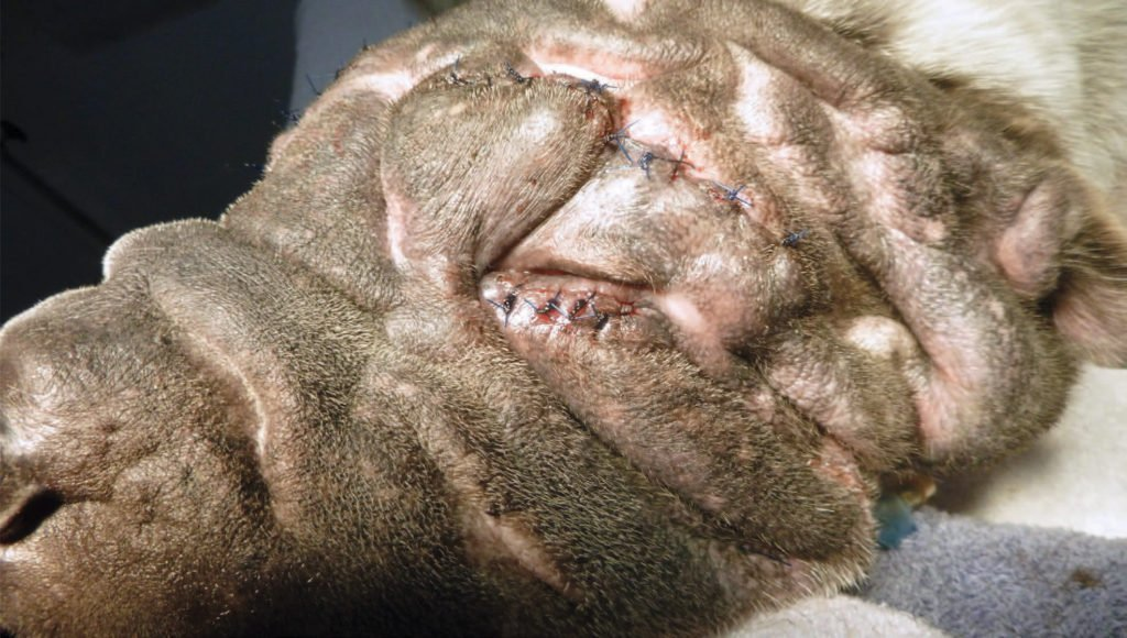 Figure 17: Pet's left side on completion of the procedure, eyelid margins now clearly visible.