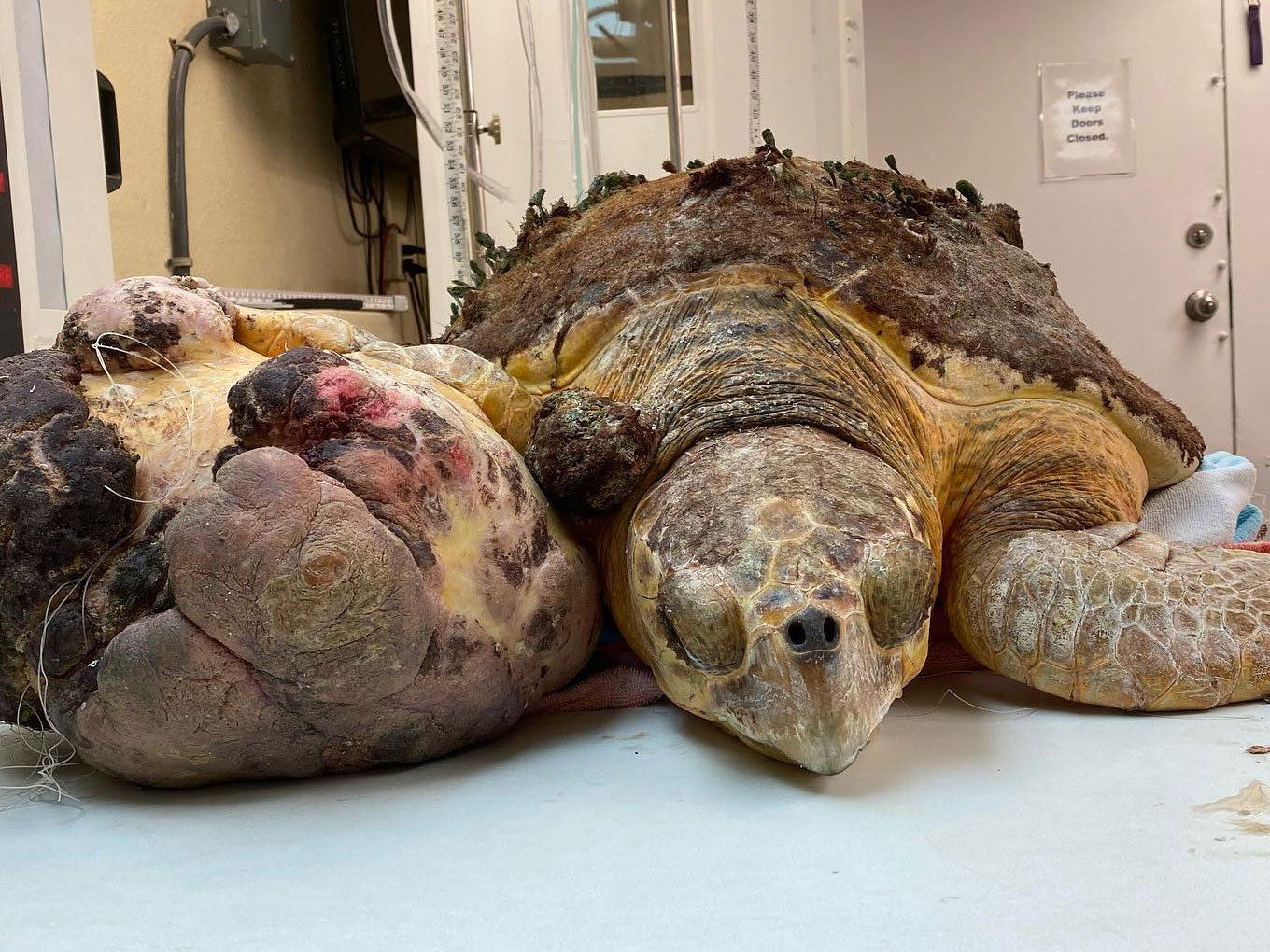 rescued turtle large tumor